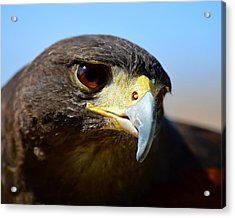 Sky Dancer - Harris Hawk Acrylic Print