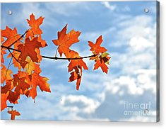 Sky View With Autumn Maple Leaves Acrylic Print