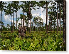 Slash Pine And Saw Palmetto Acrylic Print by Steven Scott