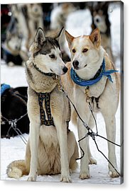 Acrylic Print featuring the photograph Sled Dogs by David Buhler