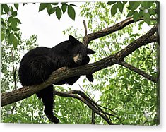 Sleeping Bear Acrylic Print by Whispering Feather Gallery