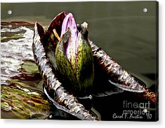 Sleeping Beauty In Water Lily Pond Acrylic Print by Carol F Austin