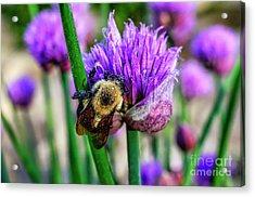 Sleeping Bumble Bee Acrylic Print by Thomas R Fletcher