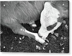Sleeping Calf Bw Acrylic Print