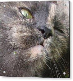 Sleeping Cat Portrait Acrylic Print by Valia Bradshaw