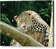 Sleeping Leopard Acrylic Print by Nicola Butt