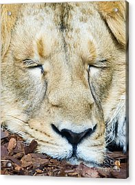 Sleeping Lion Acrylic Print
