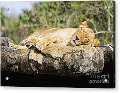 Sleeping Lion Acrylic Print by Stephanie Hayes
