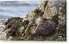 Sleeping Otter Acrylic Print