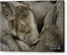 Acrylic Print featuring the photograph Sleeping Piglet by Brad Allen Fine Art