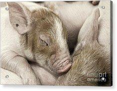 Sleeping Piglet Acrylic Print