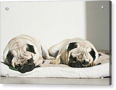 Sleeping Pug Dogs Acrylic Print