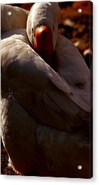 Sleeping Swan Acrylic Print by LoungeMode Productions