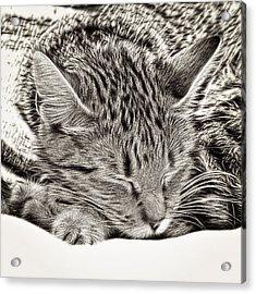 Sleeping Tabby Acrylic Print