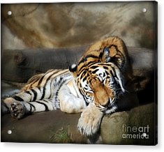 Sleeping Tiger  Acrylic Print