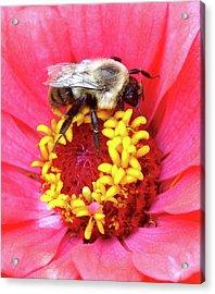 Sleepy Bumble Bee Acrylic Print