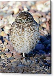 Sleepy Burrowing Owl Acrylic Print