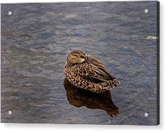 Sleepy Duck Acrylic Print by Arthur Dodd