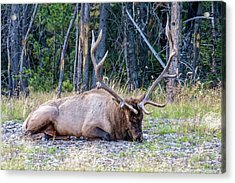Acrylic Print featuring the photograph Sleepy Elk 2009 02 by Jim Dollar