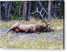 Acrylic Print featuring the photograph Sleepy Elk 2009 03 by Jim Dollar