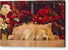 Acrylic Print featuring the photograph Sleepy Holiday Corgi Surrounded By Poinsettias. by Kathy Kelly