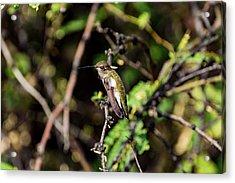 Sleepy Hummingbird Acrylic Print