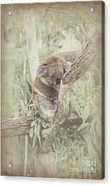Sleepy Koala Acrylic Print