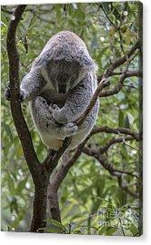 Sleepy Koala Acrylic Print by Sheila Smart Fine Art Photography