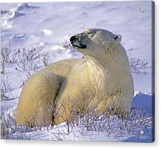 Sleepy Polar Bear Acrylic Print by Tony Beck