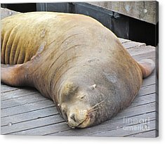 Sleepy Sea Lion Acrylic Print