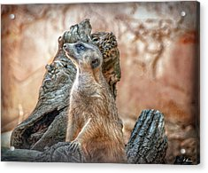 Acrylic Print featuring the photograph Slender-tailed Meerkat by Hanny Heim