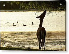 Acrylic Print featuring the photograph Slim Pickings  by Paul Farnfield