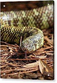 Slither Snake Acrylic Print by Arthur Dodd
