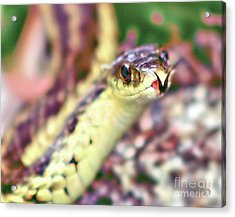Acrylic Print featuring the photograph Slithering Snake With Forked Tongue by Debbie Stahre