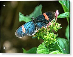 Small Black Postman Butterfly Acrylic Print