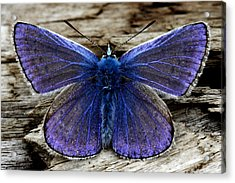 Small Blue Butterfly On A Piece Of Wood In Ireland Acrylic Print by Pierre Leclerc Photography