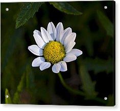 Small Daisy Acrylic Print by Svetlana Sewell