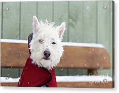 Small Dog In A Coat During A Snow Storm Acrylic Print by Edward Fielding