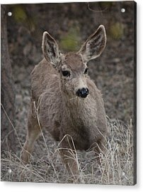 Small Fawn In Tombstone Acrylic Print by Colleen Cornelius