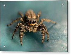 Small Jumping Spider Acrylic Print