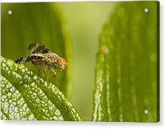 Small Orange Fly Acrylic Print by Jouko Mikkola