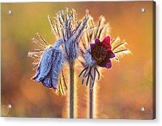 Small Pasque Flower, Pulsatilla Pratensis Nigricans Acrylic Print