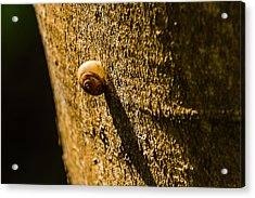 Small Snail On The Tree Acrylic Print
