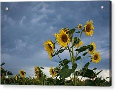 Small Sunflowers Acrylic Print