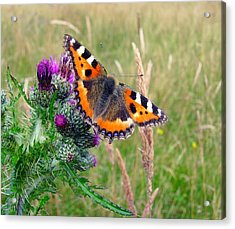 Small Tortoiseshell Butterfly Acrylic Print by Photo by Suzanne Rowcliffe (suzanne.rowcliffe@gmail.com)