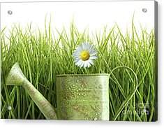Small Watering Can With Tall Grass Against White Acrylic Print
