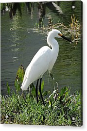 Snow Egret Acrylic Print by William Albanese Sr