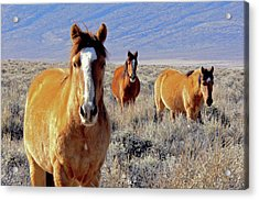 Smile - Mustang Mares Of Eastern Sierra  Acrylic Print