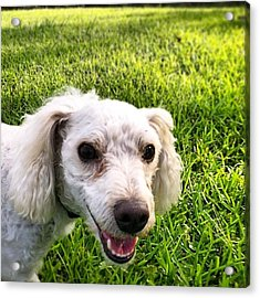 #smile #dog #yard Acrylic Print