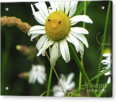 Smiley Face Ox-nose Daisy Acrylic Print